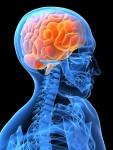 brain skeleton